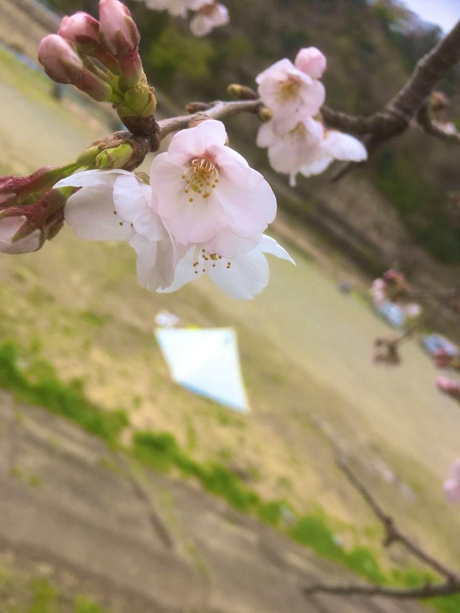 桜とパンダ